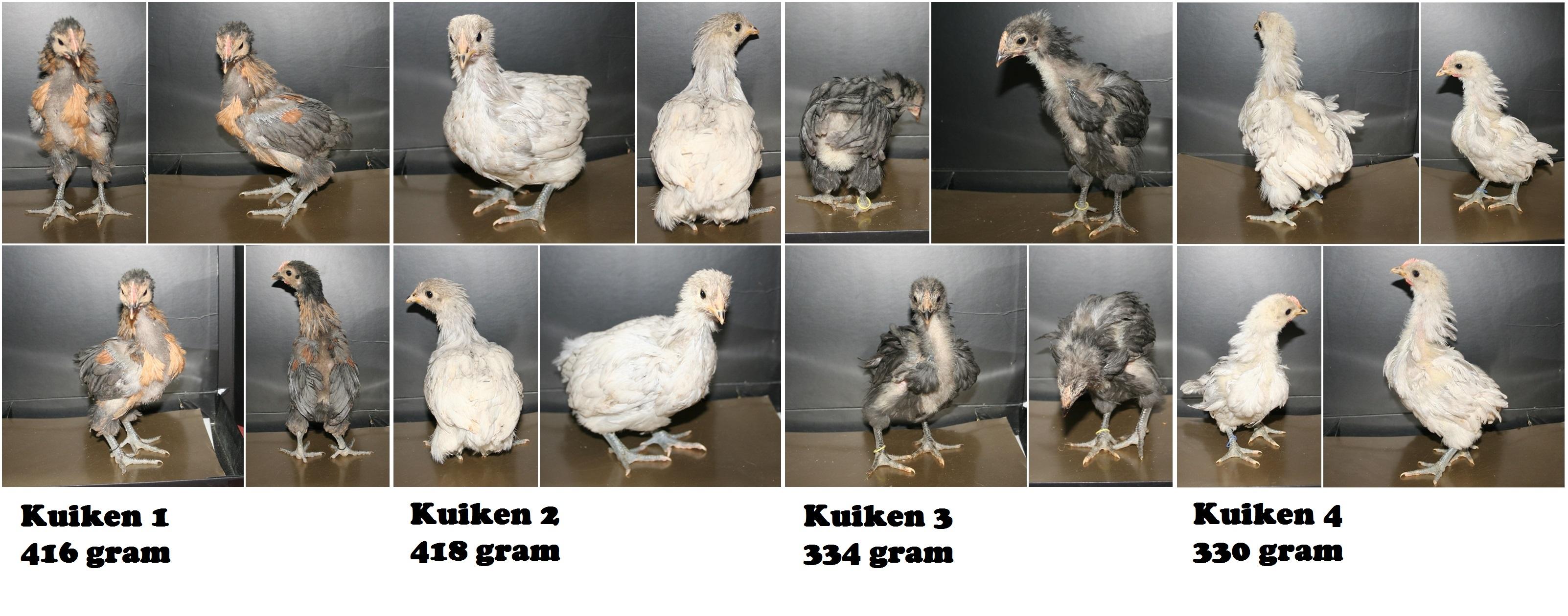 hoe oud kan een kip worden